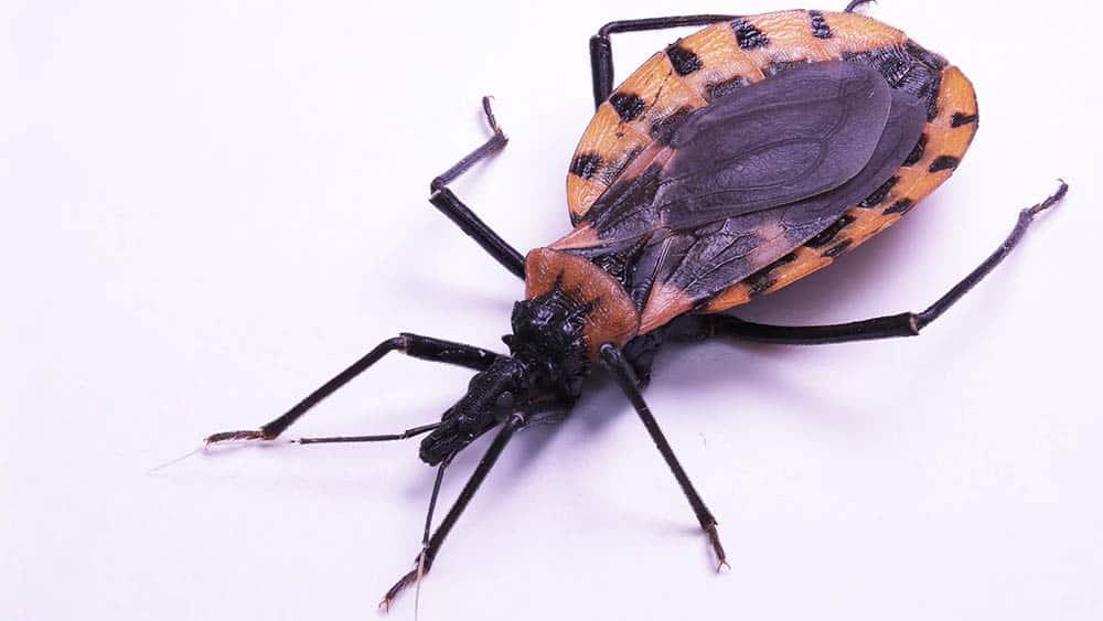 Barbeiro, inseto que transmite a doença de Chagas.