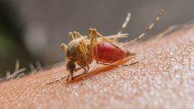 Foto macro de um mosquito cheio de sangue picando uma pessoa.