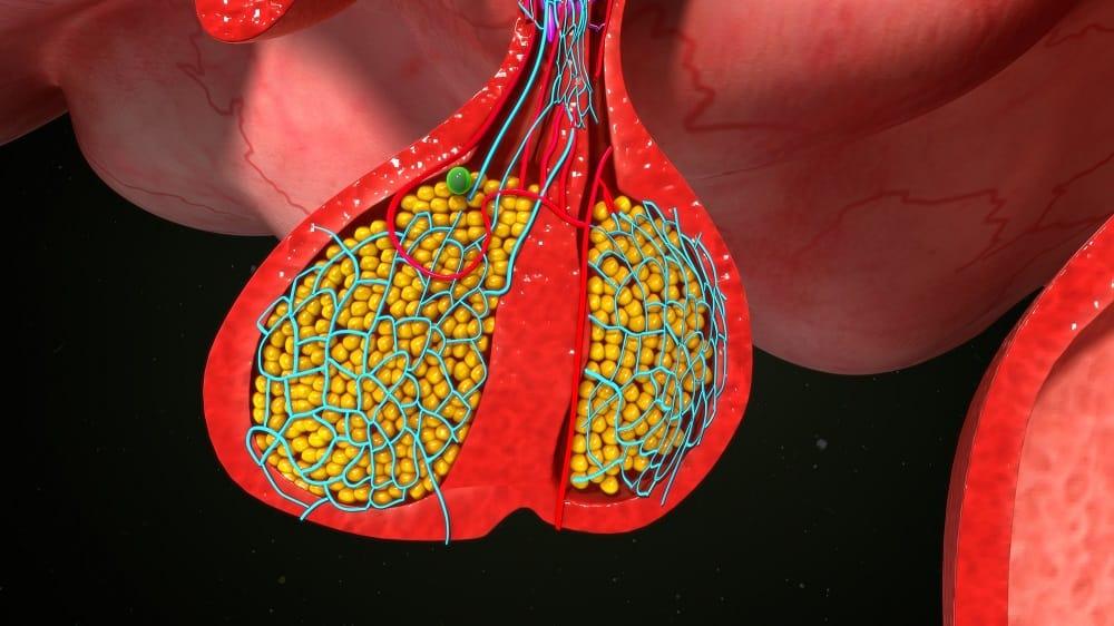 Ilustração da hipófise, que produz o hormônio que pode causar acromegalia ou gigantismo