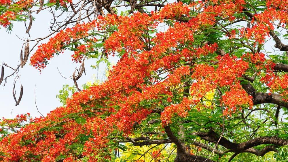 flamboyant com flores vermelhas. Flores sobrevivem à cidade por fenômeno chamado de hormese