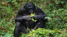 Macacos intelectuais   Artigo