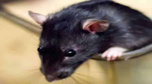 Ratos humanos