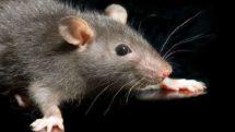 Sobre homens e ratos   Artigo