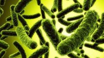 Bactérias que engordam | Artigo