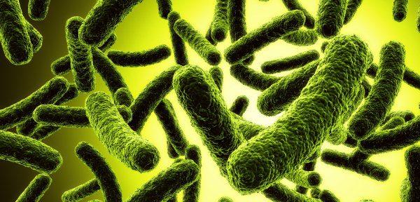 Bactérias que engordam
