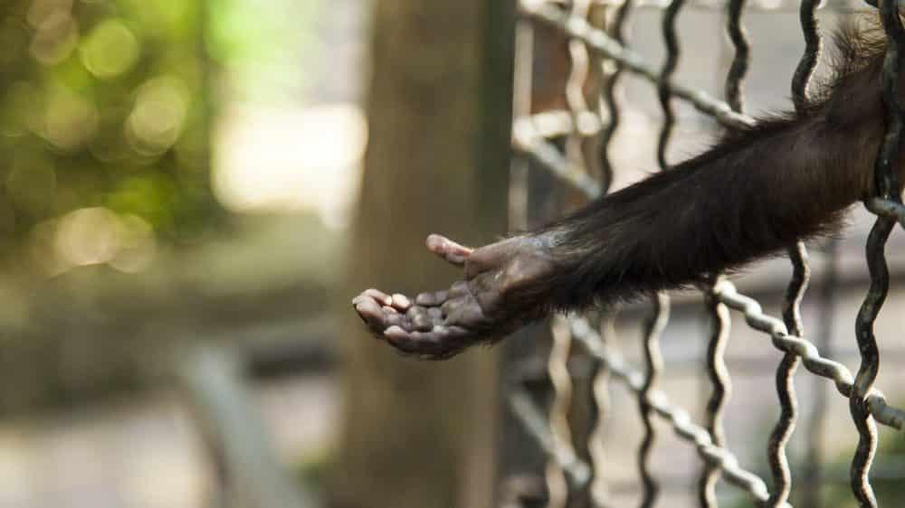 braço de chipanzé esticado, passando pela grade. Pesquisas com chimpanzés têm críticos e defensores