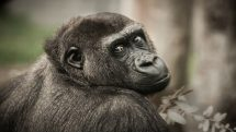 Pesquisas com chimpanzés