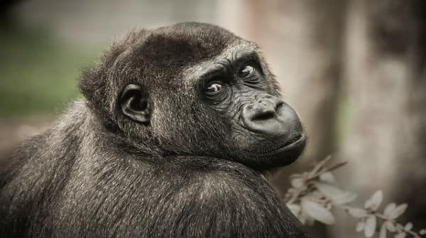 Pesquisas com chimpanzés | Artigo