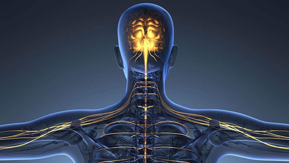 Ilustração digital de corpo humano em raio x destacando cérebro, medula e nervos.