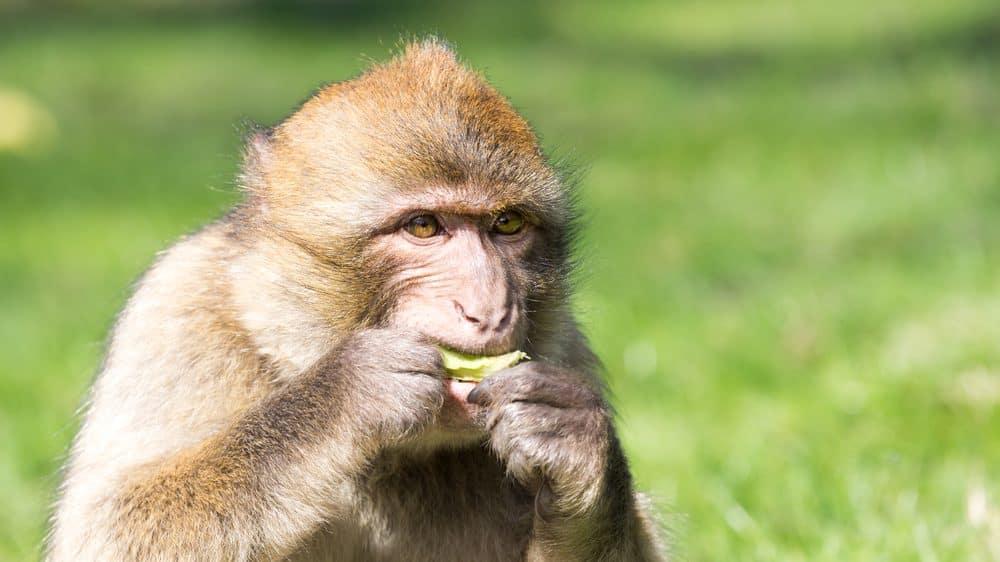 macaco come fruto. automedicação em animais é fenômeno comum