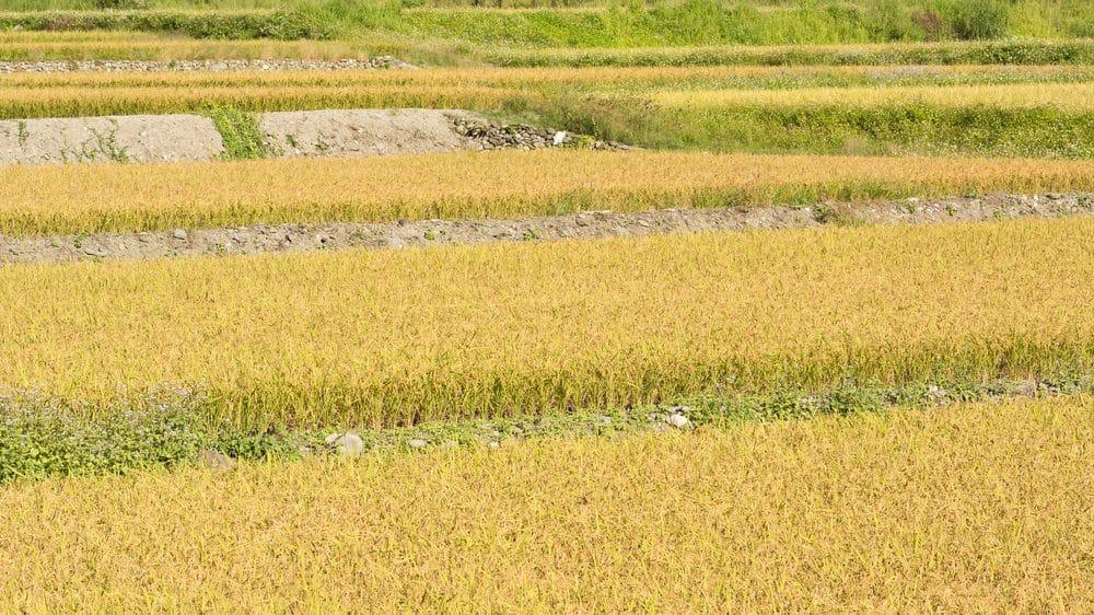 plantação de arroz dourado. alimentos geneticamente modificados podem trazer benefícios