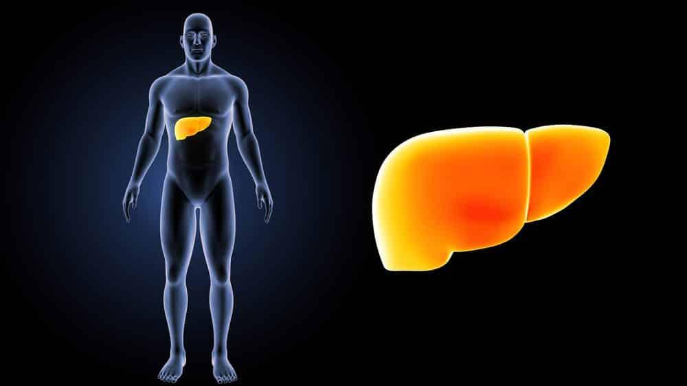 Ilustração de silhueta de corpo humano com fígado em destaque.