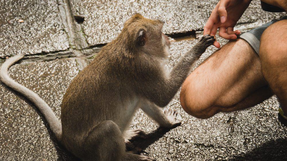 macaco dá a mão a ser humano. Bactérias comuns no intestino de macacos e homens mostra a origem comum das duas espécies