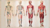 Ilustração da anatomia humano com esqueleto e músculos em dois modelos de frente e dois de costas.