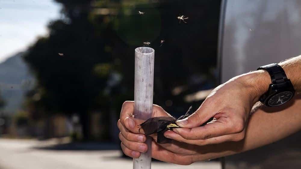 Mãos segurando um tubo e liberando mosquitos com Wolbachia.