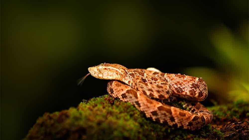 Cobra jararaca Bothrops atrox sobre uma epdra com musgo no meio de floresta..