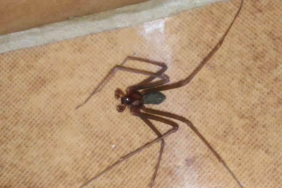 Aranha marrom (Loxosceles).